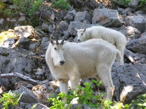 Mountain goats on the crest of the High Divide