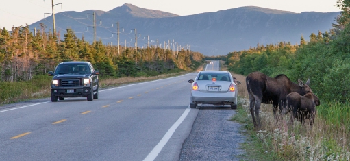 Moose on Hwy 430 (Viking Trail)