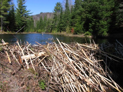 Beaver dam north of Lac Monette
