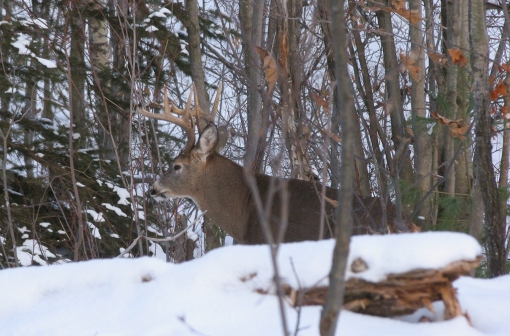 Lone deer (south of Lac Renaud)