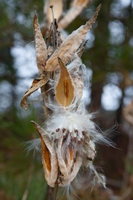 Milkweed (Lac Renaud)
