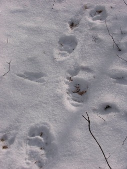 Bear tracks (south of Lac Renaud)