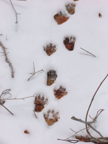Racoon tracks (Curley Lake)