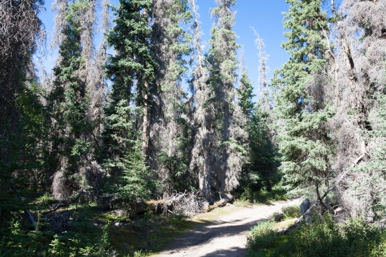 Sheep Creek Trail: The trail rises into the boreal forest