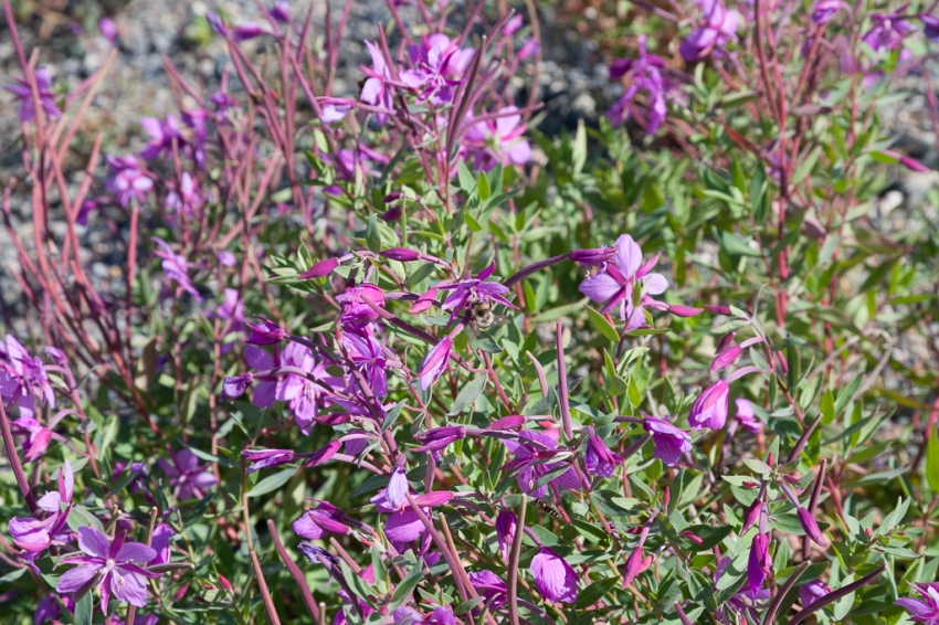 Purple fireweed along the shore of Kluane Lake