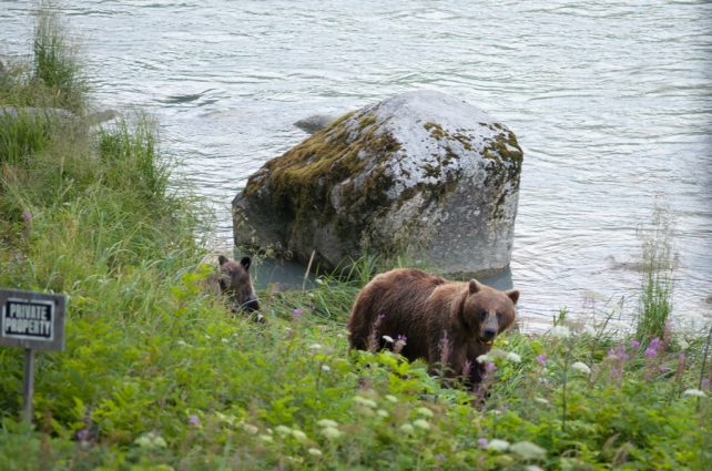 A grizzly sow and her cub on the banks of the Chilkoot River