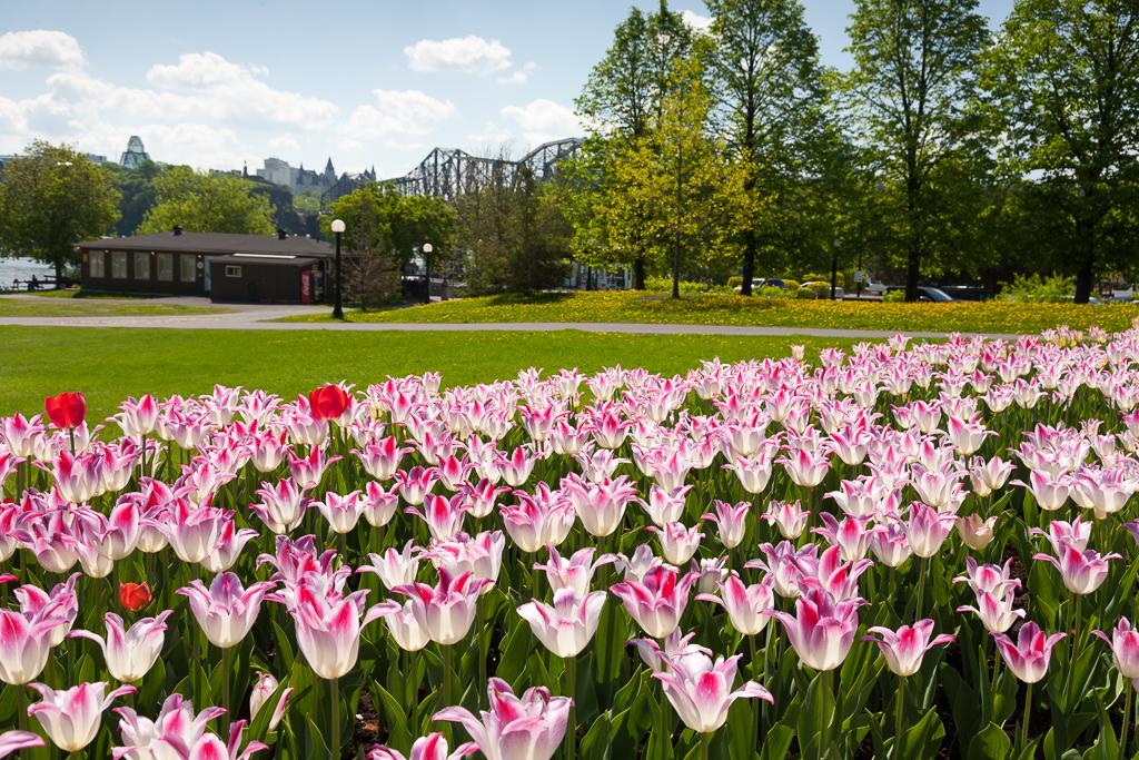 Ottawa Tulip Festival – 2015Edition
