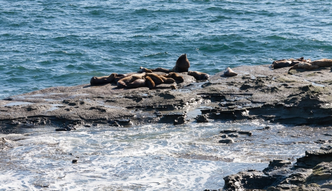 Sea lion haul out rock