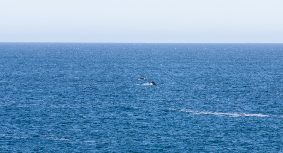 Gray whale