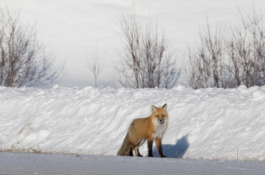 Red Fox by the side of the road