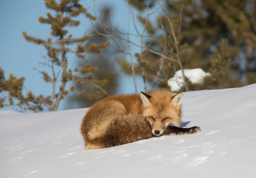 Red Fox enjoying the sun